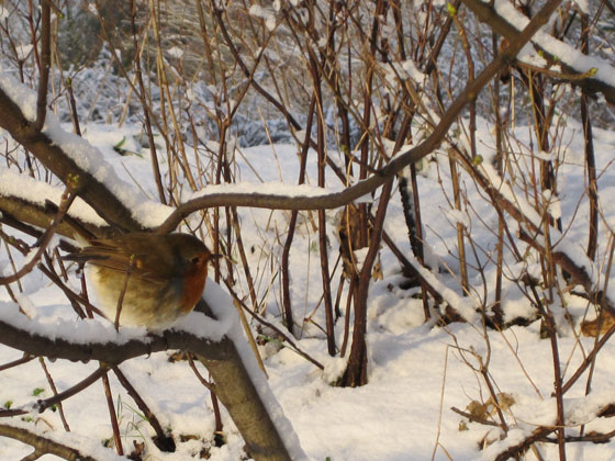 Wee robin in the snow, 23rd December 2009